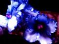 G0297_blueruffles