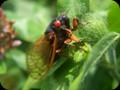 G0336_cicada