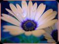 G0376_daisy wet