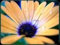 G0383_daisydream