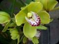 G0543_greenorchid