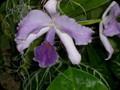 G0613_lavenderorch