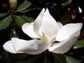 G0661_magnolia