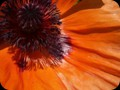 G0721_orangepoppydreams