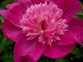 G0786_pinkpassingfancy