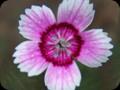 G0790_pinkypetals