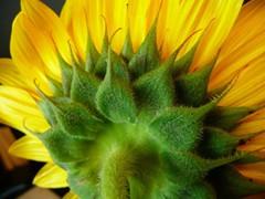 2013 Backside Sunflower